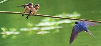 LPO - лига защиты птиц, призывает к охране ласточек и стрижей
