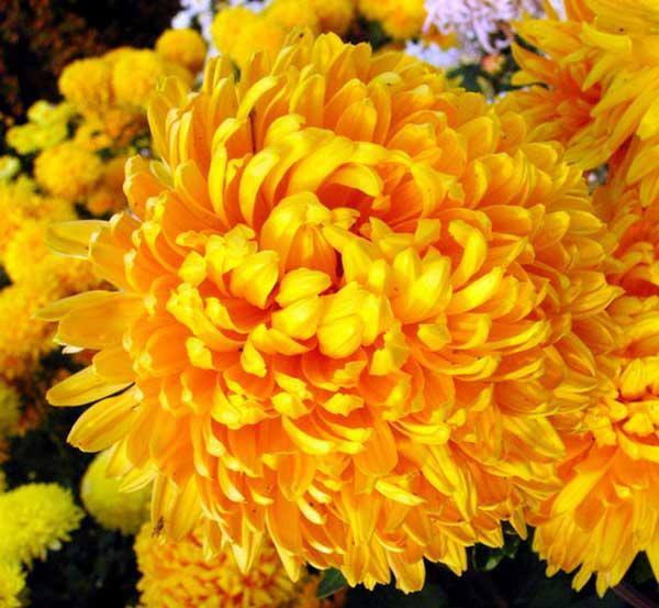 Хризантема – это солнце
