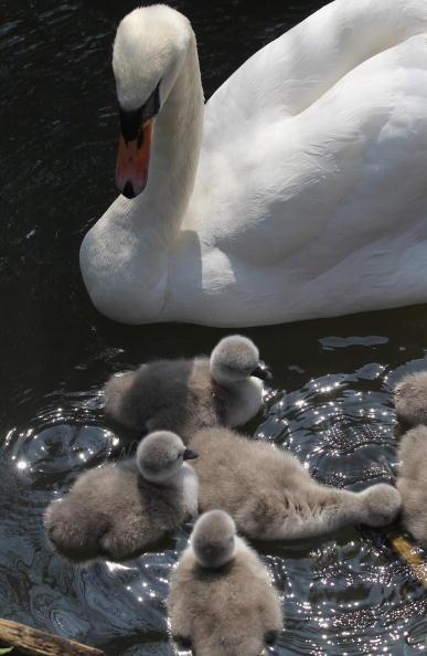 Лебединая семья. Немые лебеди. Фотообзор