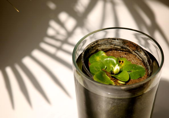 Nymphaea Thermarum  - самая маленькая  кувшинка. Фотообзор