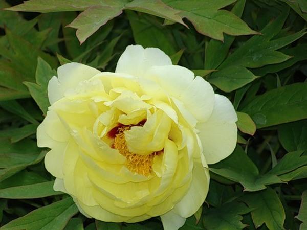Пион — божественный цветок. Фотообзор