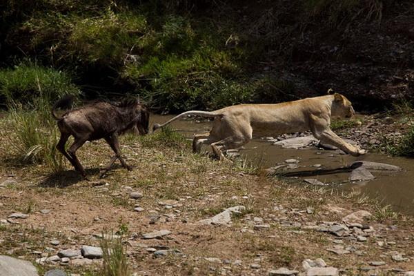 Как антилопа гну напугала львицу