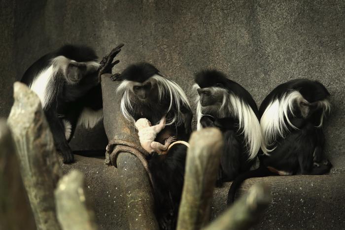 Ангольский колобус родился в зоопарке Брукфильда