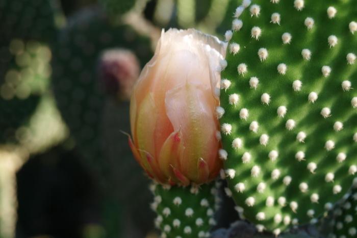 Кактусы в цвету