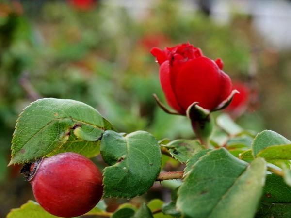 Стихи о розе. Фото-стихо-творения