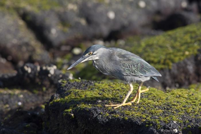 191 blue footed shutterstock 10 - Девять уникальных животных Галапагосских островов