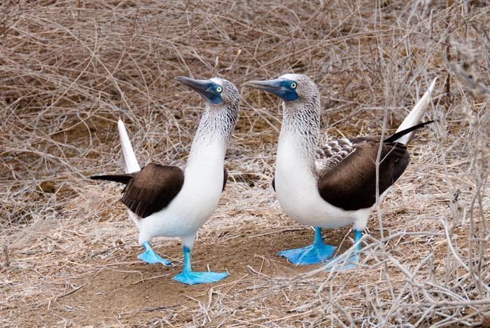 191 blue footed shutterstock 5 - Девять уникальных животных Галапагосских островов