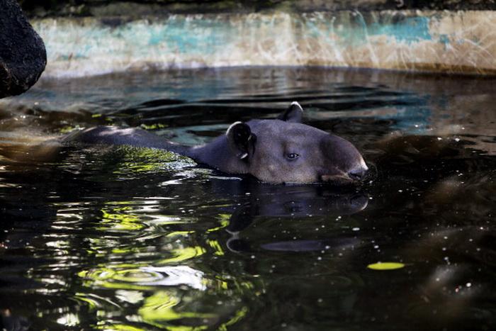 Тапир: фотографии удивительного животного