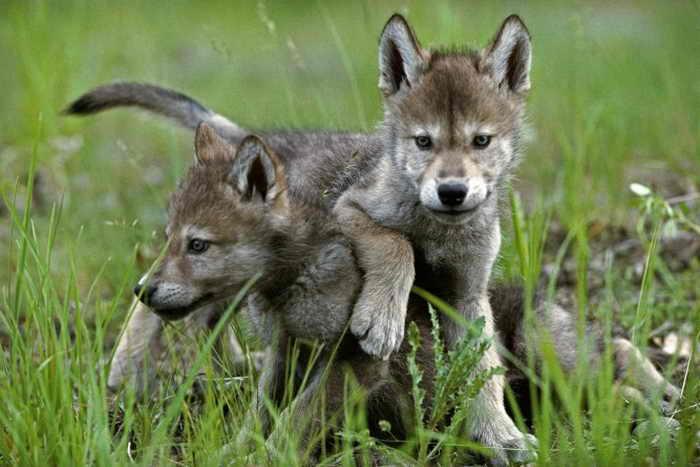 197 pups 2 - 10 уроков от семейства волков