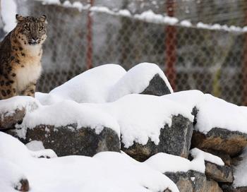 Снежный барс по кличке Монгол стал собирательным  символом России