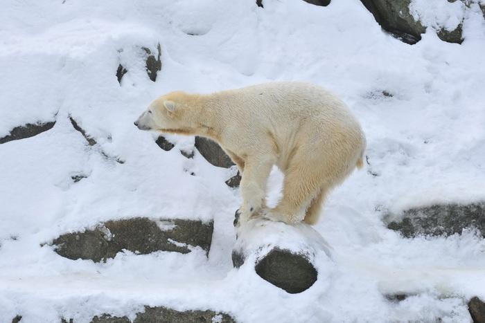 Экспедицию Фёдора Конюхова преследует белый медведь