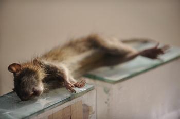 Крысы напали на столичный район Вешняки