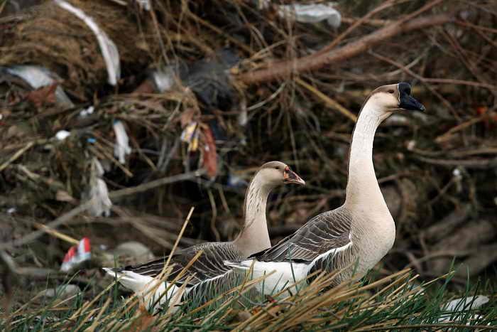 Ветераны под Костромой попросили отменить салют, чтобы не напугать диких гусей