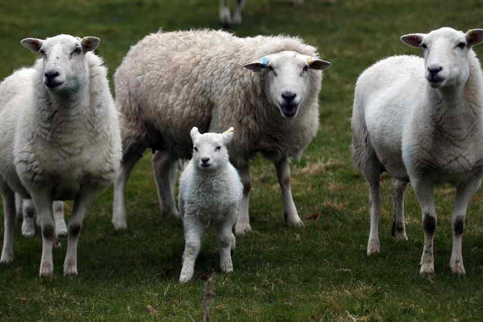 Всероссийская выставка племенных овец открывается в Калмыкии