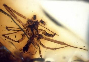 115 Baldachinspinne - Ученые нашли древнейших насекомых Африки