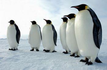 149 Antarctica - Императорские пингвины согревают друг друга в плотной толпе