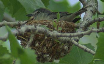 149 plumbeus2 - Как певчие птицы выживают в шумных городах