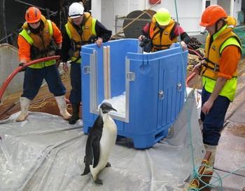 Потерявшийся пингвин возвращается домой