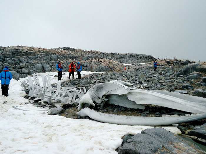 Плавание с пингвинами в Антарктиде