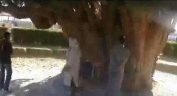 163 bristlecone derevo2 - Самые старые в мире деревья