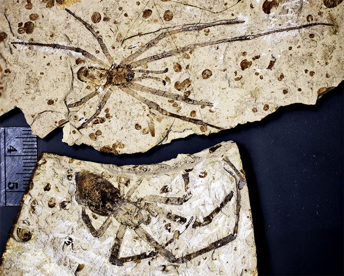 191 spider fossil - Самый большой окаменелый паук обнаружен в Китае