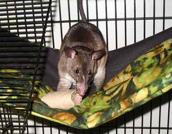 197 Cricetomys emini - Гигантские крысы развелись в городах Испании