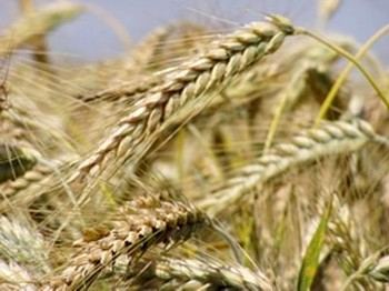115 img18311543 - После запрета экспорта зерна из России поднялись цены на пшеницу в США