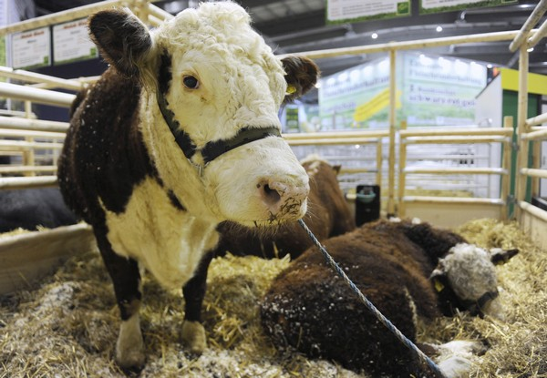 161 180110 Berlin3 - В Берлине проходит международная сельско хозяйственная выставка. Фоторепортаж