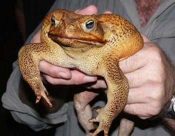 Австралийскую жабу с нетерпением ждут китайские рестораны