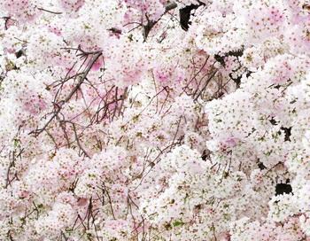 В Токио зафиксировано самое раннее цветение сакуры за всю историю