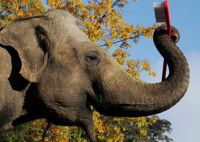 197 Hamburg slon - Найдена связь между болезнью Альцгеймера и зубной щёткой