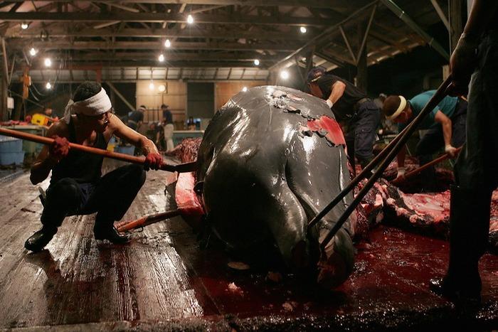 Экологи преследуют убийц китов
