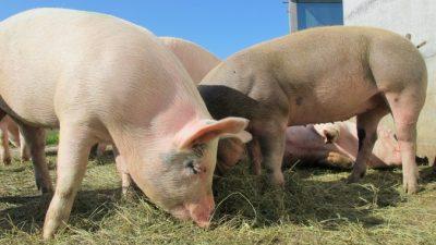 Свиные органы начнут пересаживать человеку