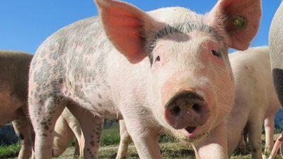 Китай увеличит число поставок свинины в РФ. Пора становиться вегетарианцами?