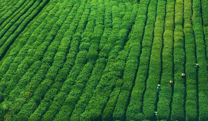 Сборщики чая за работой. Фото: Unsplash/pixabay/CC0 Public Domain | Epoch Times Россия