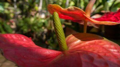 Антуриум — оригинальный и загадочный цветок
