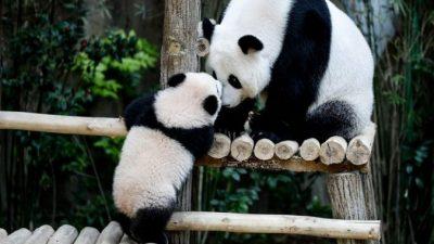 Китайцы обвиняют зоопарк в халатности из-за гибели панд