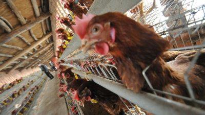 Вирус птичьего гриппа в Китае мутирует