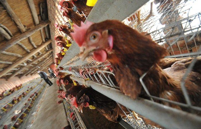 Птичий грипп продолжает распространяться в Китае. Фото: Getty Images | Epoch Times Россия