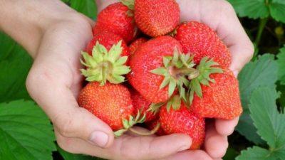 Вкус и польза садовой земляники неоспоримы