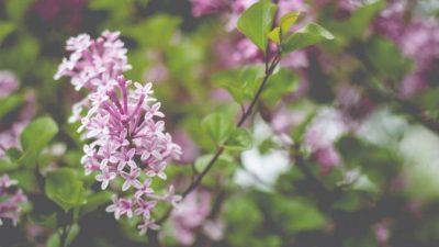 Сирень — популярный кустарник и символ весны