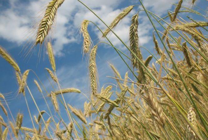 cereals 228726 1280 e1498823057771 667x450 1 - Купить семена