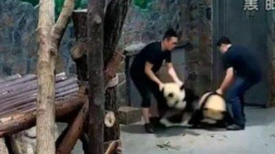 Видео о плохом обращении с пандами стало вирусным в Китае