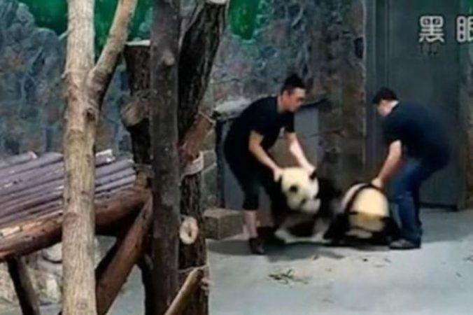 Видео о плохом обращении с пандами стало вирусным в Китае. Скриншот/YouTube | Epoch Times Россия