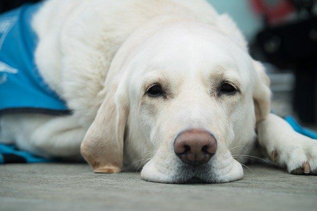собака лабрадор