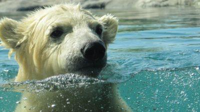 Самый грустный белый медведь сможет увидеть солнце