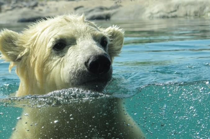 Белый медведь. Фото: pixabay.com/CC0 1.0 | Epoch Times Россия