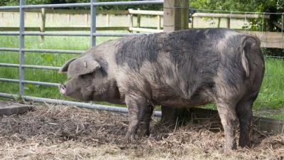 Мужчину преследовала свинья, и он вызвал полицию. Полицейские решили, что звонивший пьян, но оказалось, что нет