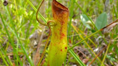 Хищные растения используют для охоты энергию дождя