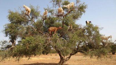Почему в Марокко козы пасутся на деревьях?
